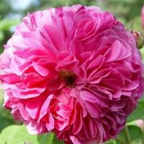 Lila történelmi rózsa -'Duc de Cambridge'