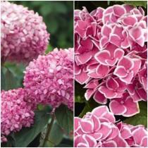 Együtt olcsóbb - rszín Annabelle + Candy Pink hortenzia