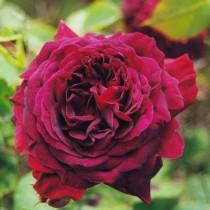 Bíborszínű történelmi rózsa - 'Empereur du Maroc'
