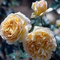 Sárga romantikus rózsa 'Felidaé'