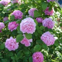 Lila történelmi rózsa 'General Kleber'