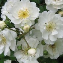 Fehér bokor rózsa 'Guirlande d'Amour'