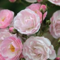 Rózsaszín bokor rózsa 'Heavenly Pink'