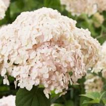 Cserjés hortenzia 'Candybelle Marshmallow'