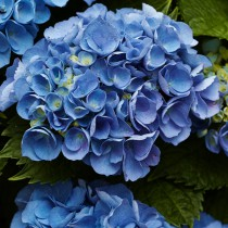 Kerti hortenzia 'Blue Power'