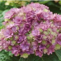Duplaszirmú kerti hortenzia 'Expression' nagy méret