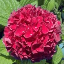 Kerti hortenzia 'Red Power'
