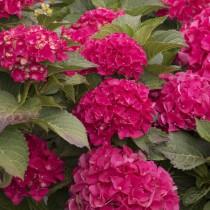 Kerti hortenzia 'Royal Red'