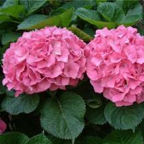 Kerti hortenzia rózsaszín