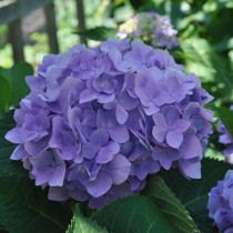 Kerti hortenzia 'Silky Pink Blue'