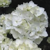 Kerti hortenzia 'White Power'