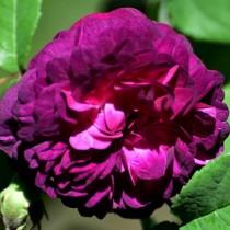 Lila történelmi rózsa 'Indigo'