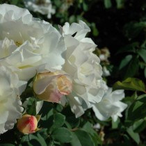 Fehér ágyásrózsa - 'Irene Frain'