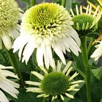 Kasvirág 'Delicious Nougat'