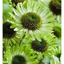 Kasvirág 'Green Jewel'