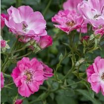 Rózsaszín ágyásrózsa - ' Kempelen Farkas'