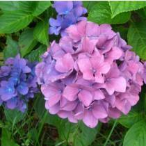 Kerti hortenzia 'Bouquet Rose' nagy méret