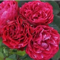 Rózsaszín-fehér ágyásrózsa 'Konstantina'