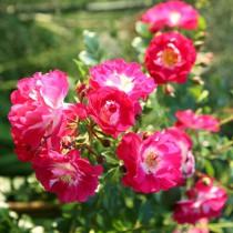 Lilás-rózsaszín talajtakaró rózsa 'Lipstick'