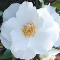 Fehér virágágyi romantikus rózsa 'Milly'