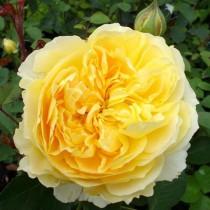 Sárga romantikus rózsa 'Molineux'