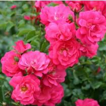 Rózsaszín talajtakaró rózsa 'Noatraum'