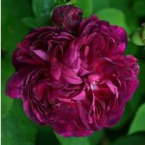 Lila történelmi rózsa - 'Ombree Parfaite'