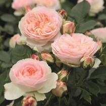 Halvány rózsszínű ágyásrózsa - 'Pastella'