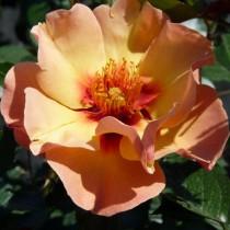 Narancssárga ágyásrózsa 'Persian Sun'