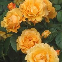 Aranysárga bokor rózsa 'Postillion'