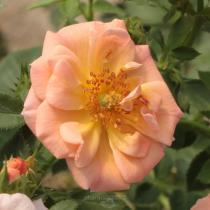 Rózsaszín talajtakaró rózsa 'Rift'