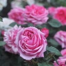 Rózsaszín romantikus rózsa 'Romina'