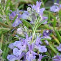 Rozmaring 'Corsican Blue'