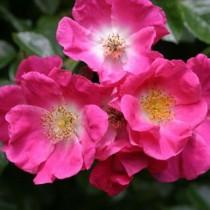 Sötét rózsaszín talajtakaró rózsa 'Aennchen Müller'