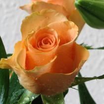 Narancsszínű tearózsa - 'Ariel'