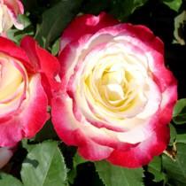 Fehér-rózsaszín tearózsa - 'Atlas'