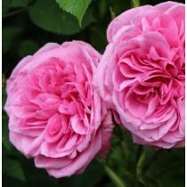 Rózsaszín, romantikus angol rózsa -'Ausbord'