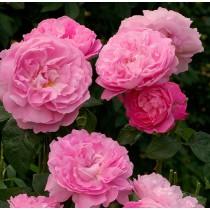 Rózsaszín romantikus rózsa - 'Ausmary'