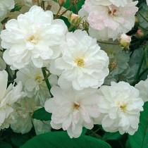 Fehér romantikus rózsa 'Ausram'