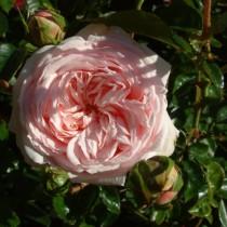 Rózsaszín futórózsa - 'Awakening''