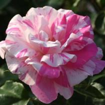 Fehér-rózsaszín csíkos ágyásrózsa 'Berlingot'