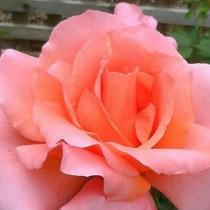 Lazacrózsaszínű ágyásrózsa  - 'Courtoisie'