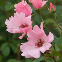 Halványrózsaszín történelmi rózsa -'Dainty Bess'
