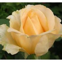 Halványsárga tearózsa - 'Elegant Beauty'