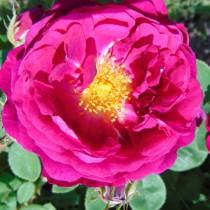 Mélylila történelmi rózsa - 'Gipsy Boy'