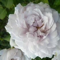 Lila romantikus rózsa - 'Griselis'