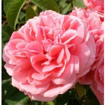 Rózsaszín ágyásrózsa - 'Kimono'