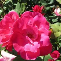 Élénk rózsaszín ágyásrózsa - 'Lafayette'