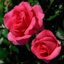 Élénk rózsaszín tearózsa - 'Lancome'