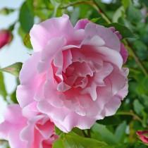 Rózsaszín futórózsa - 'Madame G.Staechelin'